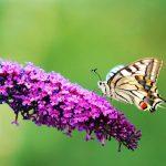 52-Schmetterling-auf-Flieder00237-Kopie