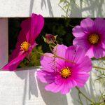 53-Hortensien-Garten-1000141