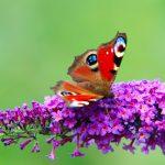 55-Schmetterling-Admiral00236-Kopie